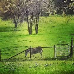 #Texas #countrylife of a #donkey _#pastoral #idyllic #beautiful #ranch #rural