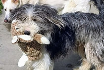 Bearded Collie Dog with Toy