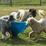 3 dogs playing in Ellis County, Texas