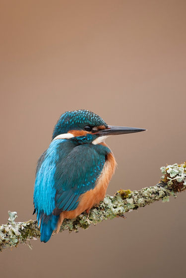 Common kingfisher, perched