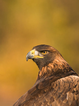 Golden eagle portrait against  a glowing yellow background.