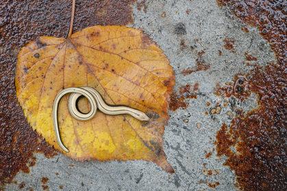 Slow worm, Anguis fragilis,