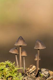 Black milking bonnet fungi