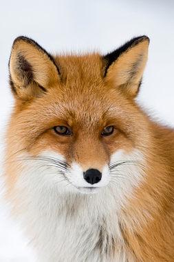 Red fox, winter in Norway