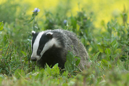 European badger_20170714.jpg