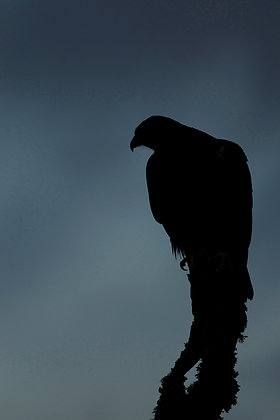 Golden eagle sillhouetted against a stormy sky