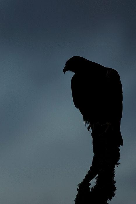 Golden eagle, Aquilla chrysaetos sillhouette against storm laden sky