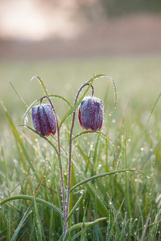 Snake's head Fritillary, covered with a late frost