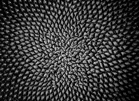 Black and white abstract view of a sunflower seed head, macro.