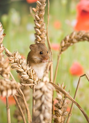 Harvest mouse in wheat field with scattering of poppies.
