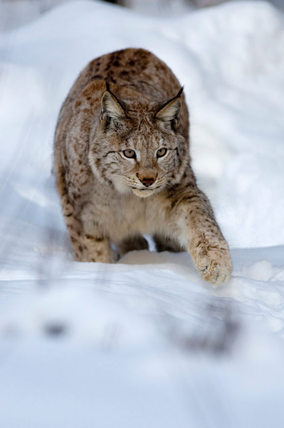 European Lynx, Norway in winter
