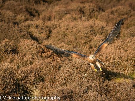Red Kites in Suffolk