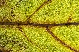 Back lighting on Autumn leaf
