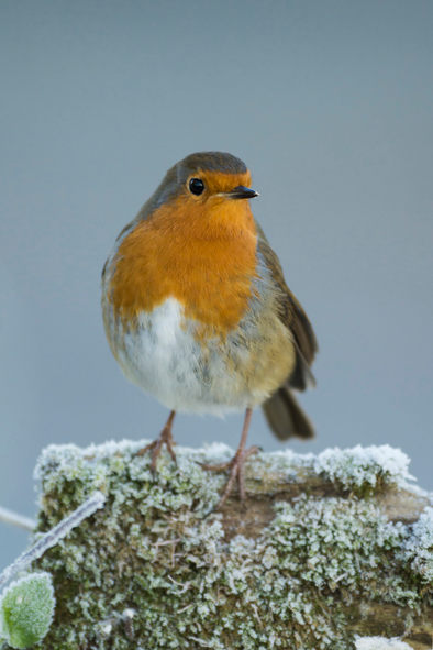 European robin, on frost covered post