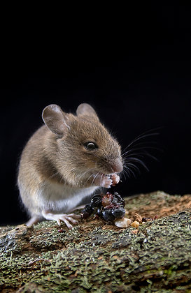 Wood mouse, eating blackberries, night time.