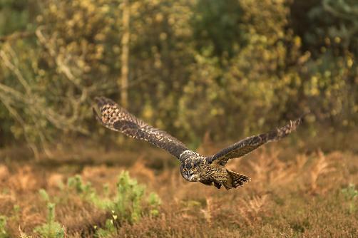 European Eagle Owl, in flight, Autumn