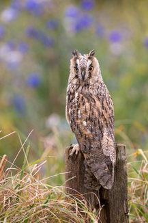 Long eared owl, Asio otus, against cornflowers