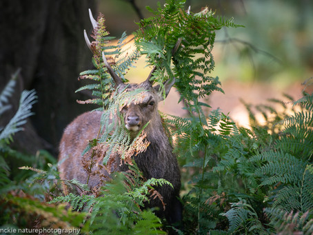 Sika Stag, in Kent