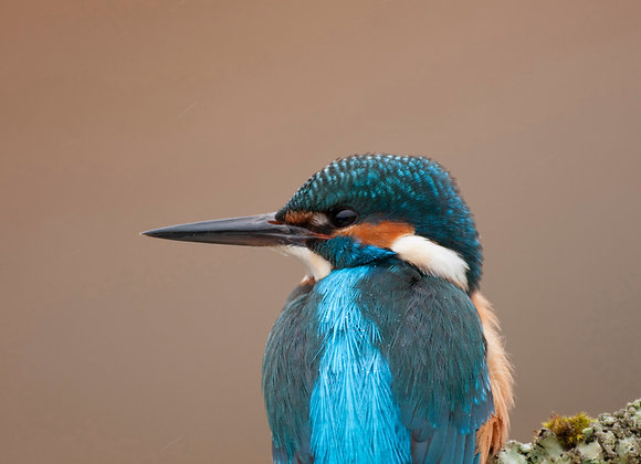 Common kingfisher perched against a diffuse background.