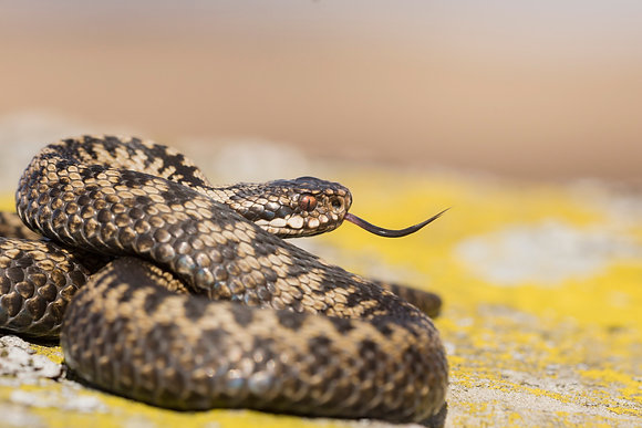 European Adder curled and basking on yellow lichen covered rock, Scotland.