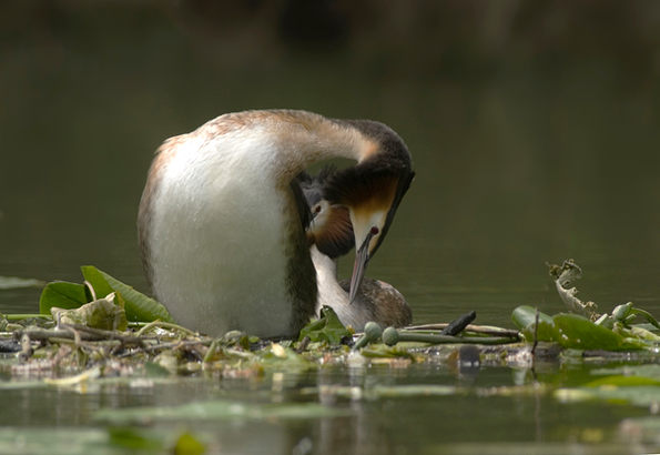 Great crested grebe, pair at nest