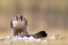 Peregrine falcon, Falco peregrinus,with prey
