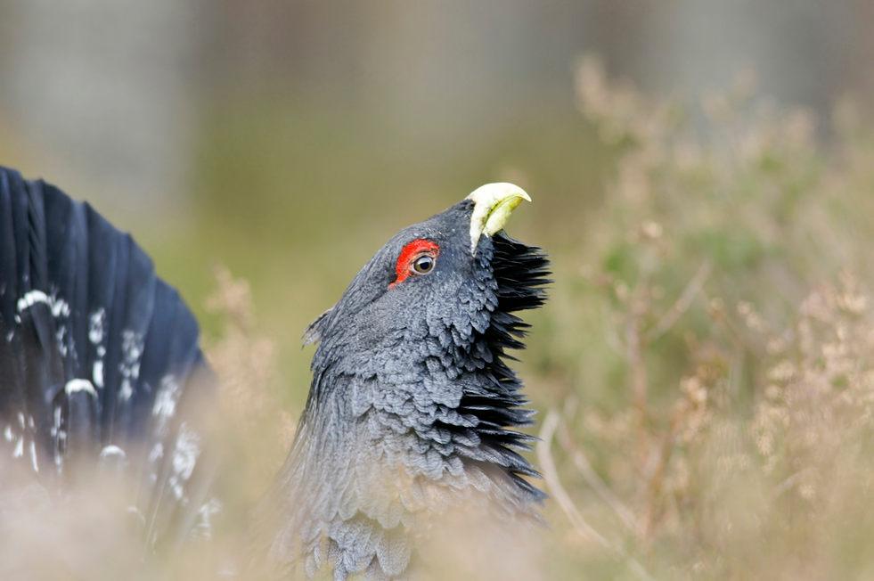 Capercaillie, male, Scotland