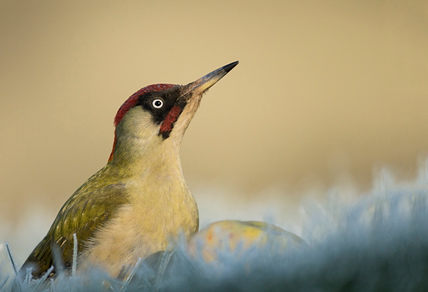 Green woodpecker, late winter