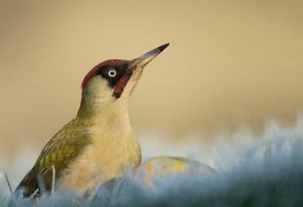 Green woodpecker, late winter