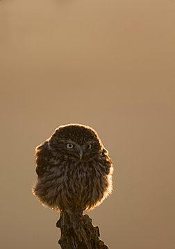 Little owl, Athena noctua, backlit by evening sun