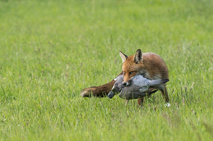 Red fox, with prey