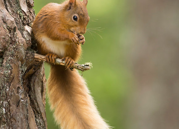 Red squirrel, sits on the side of old Scots pine tree, diffuse green background.