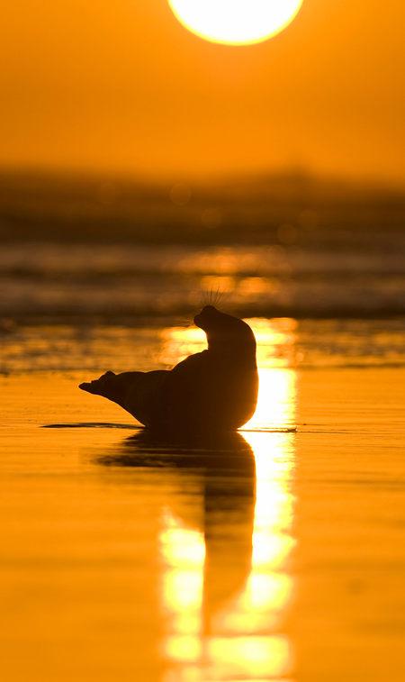 Atlantic grey seal, at daybreak