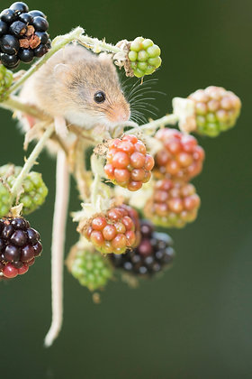 Harvest mouse, feeding on bramble bush diffuse green background,