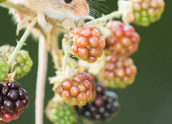 Harvest mouse, feeding on bramble bush diffuse green background,