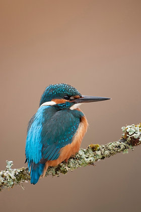 Common kingfisher, perched against a pale diffuse background.