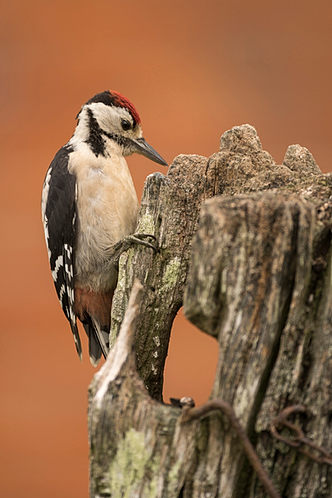 Great spotted woodpecker, Dendrocopos major, perched on old gate post.