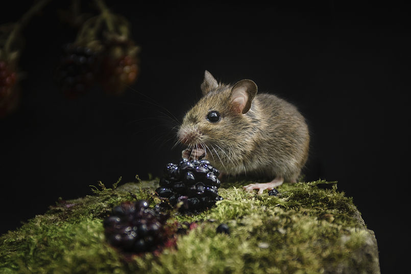 Wood mouse_20160803-.jpg