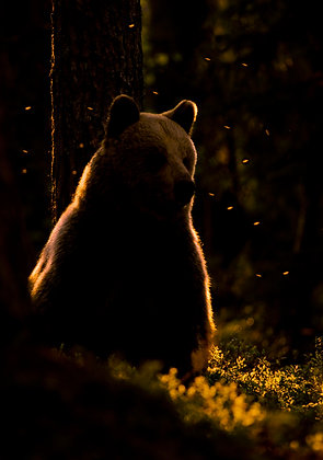 European brown bear, backlit and surrounded by flies , summer night in the Forests of Finland.