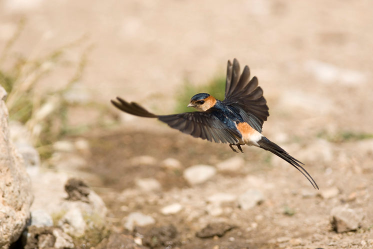 Red rumped swallow, in flight