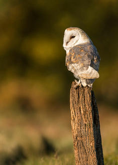Barn Owl,perched against Autumnal woodland