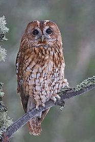 Tawny owl, Strix aluco, in Scotish pine forest