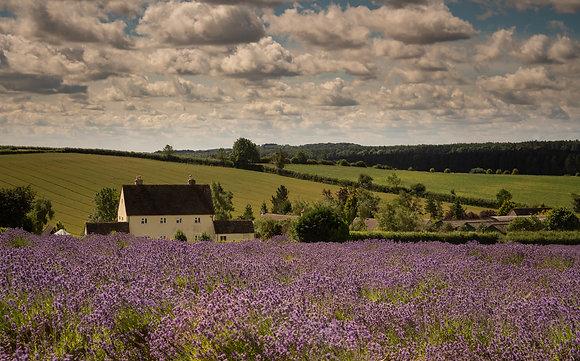 Snows hill lavender farm, the Cotswolds