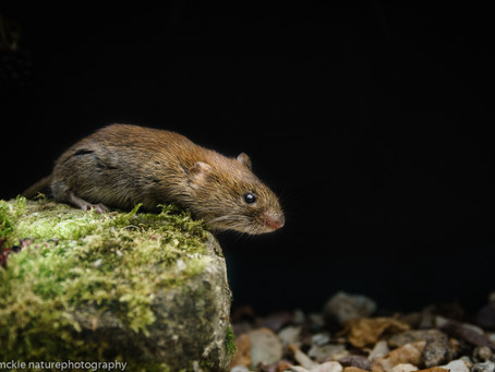 Wood mice and Bank voles
