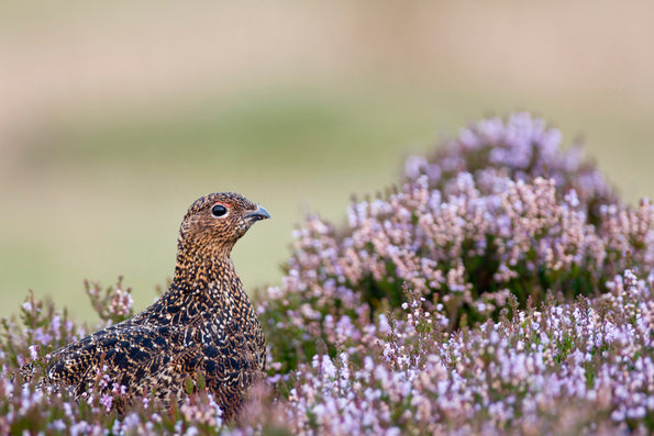 Red grouse on heather moorland