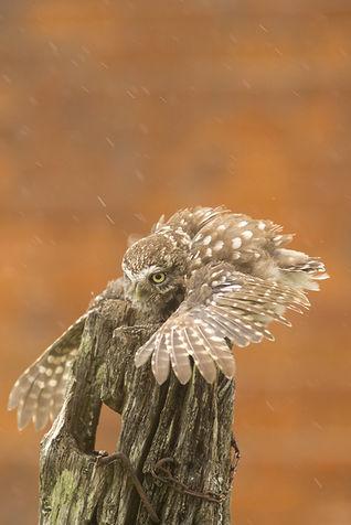 Little owl, Athena noctua,mantles prey .