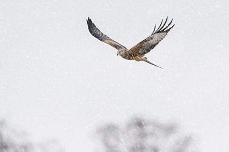 Red kite ,Milvus milvus, snow storm , mid wales