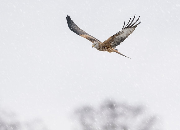 Red kite flying through snow flurries, winter in mid Wales