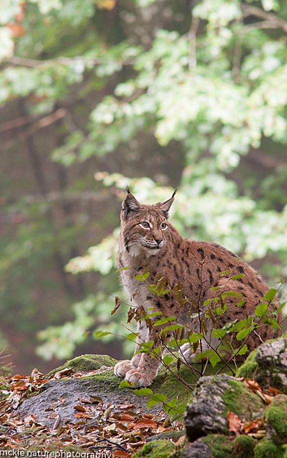 Lynx, European lynx,  Lynx lynx, Norway, spring, mountains,nature,