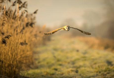 Barn owl-000000112.jpg